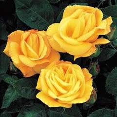 ARTHUR BELL (Flo), Beautiful Yellow Rose