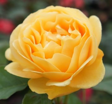 ABSOLUTELY FABULOUS (Wekvossutono), Beautiful Yellow Rose
