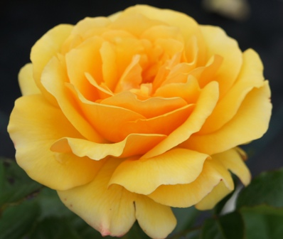 AMBER QUEEN (Harroony), Beautiful Yellow Rose