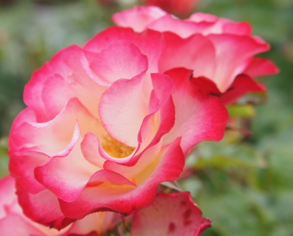 Buy the BIRTHDAY GIRL (Meillasso), part of the Floribunda Roses collection at Apuldram Roses