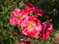 CHRISTOPHER COLUMBUS (Poulstripe) rose