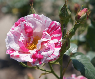 Buy the CALYPSO (Poulclimb), part of the Climbing Roses Ramblers collection at Apuldram Roses