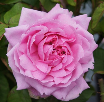 Buy the COMTE DE CHAMBORD, part of the Shrub Roses collection at Apuldram Roses