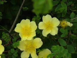 CANARY BIRD, Beautiful Yellow Rose