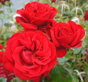 Buy the DUBLIN BAY, part of the Climbing Roses Ramblers collection at Apuldram Roses