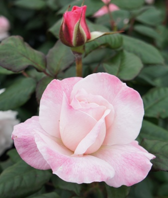 Buy the ENGLISH MISS, part of the Floribunda Roses collection at Apuldram Roses