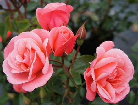 Buy the FASCINATION (Poulmax), part of the Floribunda Roses collection at Apuldram Roses