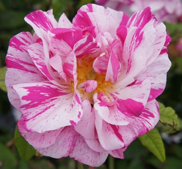 Buy the GALLICA VERSICOLOUR, part of the Shrub Roses collection at Apuldram Roses