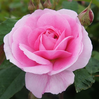 Buy the GERTRUDE JEKYLL (Ausbord), part of the Shrub Roses collection at Apuldram Roses