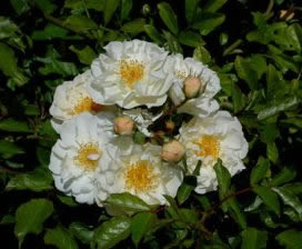 Buy the GOLDFINCH, part of the Climbing Roses Ramblers collection at Apuldram Roses
