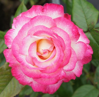 Buy the HANDEL, part of the Climbing Roses Ramblers collection at Apuldram Roses