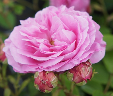 Buy the LOUISE ODIER, part of the Shrub Roses collection at Apuldram Roses