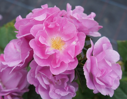 Buy the LUCKY (frylucy), part of the Floribunda Roses collection at Apuldram Roses