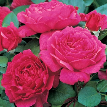 Buy the Noble Antony, part of the Shrub Roses collection at Apuldram Roses