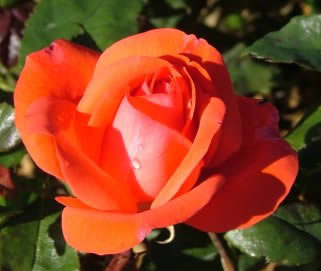 Buy the PICCOLO (Tanolokip), part of the Floribunda Roses collection at Apuldram Roses