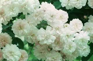 Buy the PAULS HIMALAYAN MUSK, part of the Climbing Roses Ramblers collection at Apuldram Roses