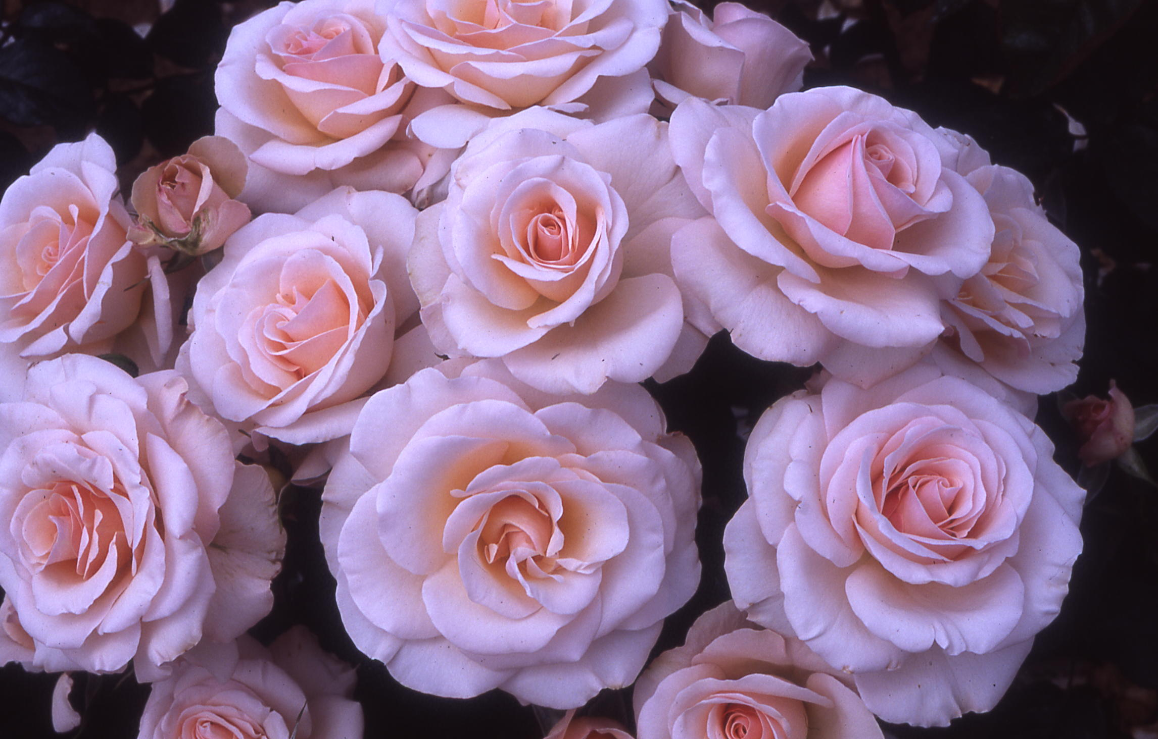 Buy the PEARL ABUNDANCE (Harfrisky) , part of the Floribunda Roses collection at Apuldram Roses
