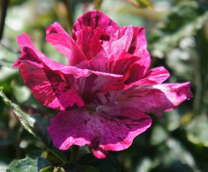 Buy the PURPLE TIGER (Jacpurr), part of the Floribunda Roses collection at Apuldram Roses