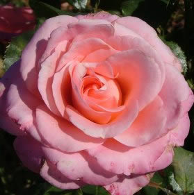 Buy the QUEEN ELIZABETH, part of the Floribunda Roses collection at Apuldram Roses