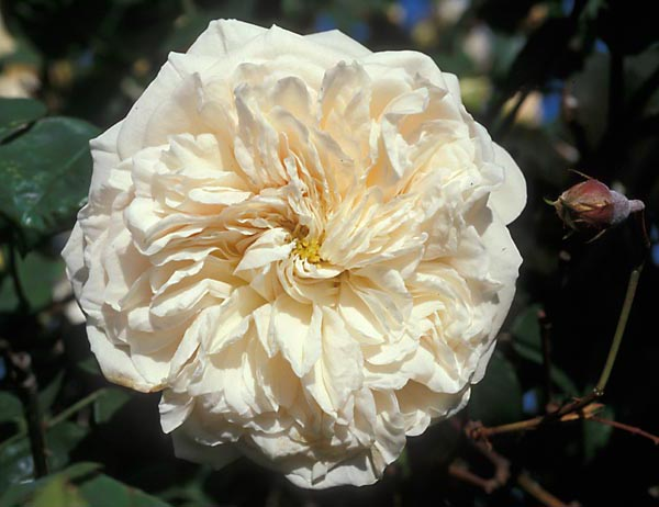 Buy the SOMBREUIL, part of the Climbing Roses Ramblers collection at Apuldram Roses