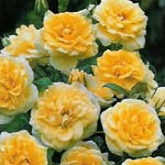 Buy the SUMMERTIME (chewlarmoll), part of the Climbing Roses Ramblers collection at Apuldram Roses
