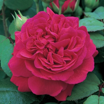 Buy the Tess of the D'urbervilles, part of the Shrub Roses collection at Apuldram Roses