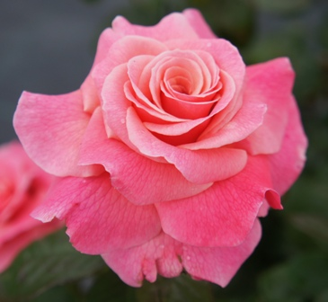 Buy the TICKLED PINK (fryhunky), part of the Floribunda Roses collection at Apuldram Roses