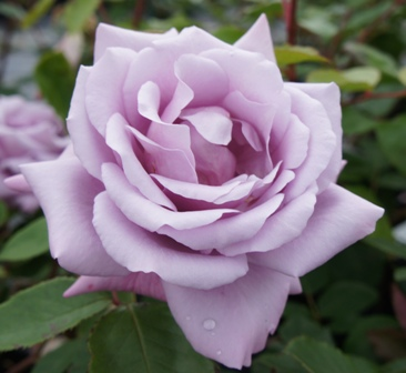 Buy the TWICE IN A BLUE MOON (Tan 36138), part of the Hybrid Tea Roses collection at Apuldram Roses