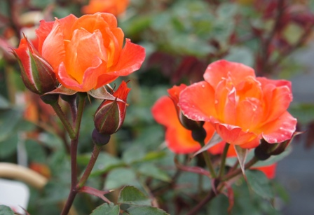 Buy the WARM WELCOME (chewizz), part of the Climbing Roses Ramblers collection at Apuldram Roses