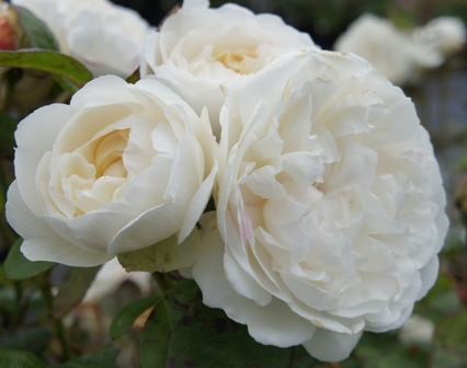 Buy the WINCHESTER CATHEDRAL (Auscat), part of the Shrub Roses collection at Apuldram Roses