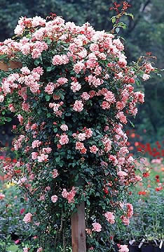 Buy the ALBERTINE, part of the Climbing Roses Ramblers collection at Apuldram Roses