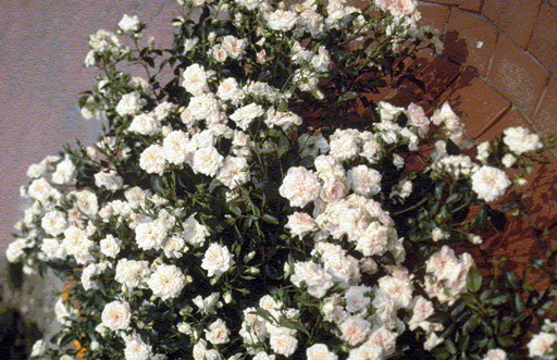 Buy the BLENHEIM, part of the Ground Cover Roses collection at Apuldram Roses