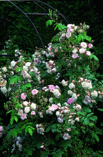 Buy the Blush Noisette, part of the Climbing Roses Ramblers collection at Apuldram Roses
