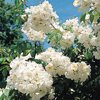 BOBBIE JAMES: Buy Climbing Roses & Rambler Roses from Apuldram Roses