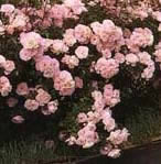 Buy the BONICA (Meidomanac), part of the Shrub Roses collection at Apuldram Roses