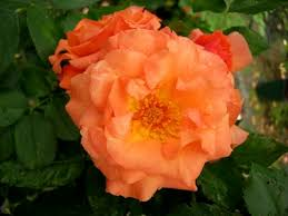 Buy the BRIGHT FUTURE - (Kirora), part of the Climbing Roses Ramblers collection at Apuldram Roses