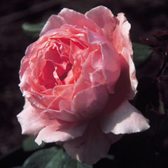 Buy the BROTHER CADFAEL (ausglobe), part of the Shrub Roses collection at Apuldram Roses