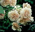 Buy the BUFF BEAUTY   , part of the Shrub Roses collection at Apuldram Roses