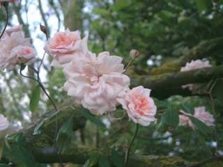 Buy the CECILE BRUNNER , part of the Climbing Roses Ramblers collection at Apuldram Roses