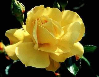 CHRIS (Kirsan), Beautiful Yellow Rose