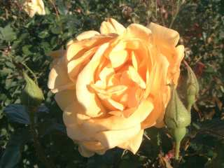 DREAMING SPIRES, Beautiful Yellow Rose