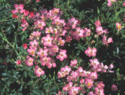 Buy the ESSEX (Poulnoz), part of the Ground Cover Roses collection at Apuldram Roses