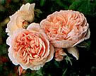 Buy the EVELYN, part of the Shrub Roses collection at Apuldram Roses