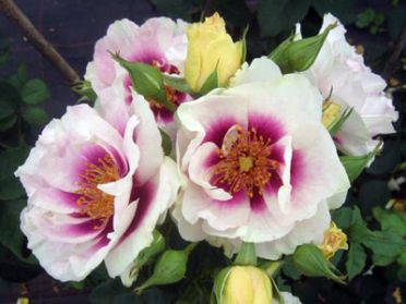 Buy the EYES FOR YOU - (Pejbigeye), part of the Floribunda Roses collection at Apuldram Roses