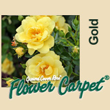 Buy the FLOWER CARPET - GOLD, part of the Ground Cover Roses collection at Apuldram Roses