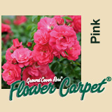 Buy the FLOWER CARPET - PINK, part of the Ground Cover Roses collection at Apuldram Roses