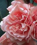 Buy the FELICIA, part of the Shrub Roses collection at Apuldram Roses