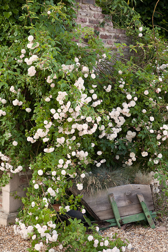 Buy the FELICITE et PERPETUE, part of the Climbing Roses Ramblers collection at Apuldram Roses