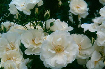 Buy the FLOWER CARPET - WHITE, part of the Ground Cover Roses collection at Apuldram Roses