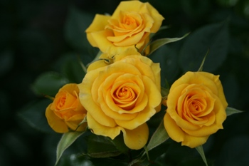 Flower Power Gold, Beautiful Yellow Rose